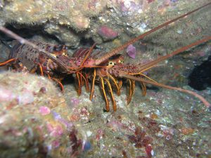 Spiny lobster - Craig Shuman